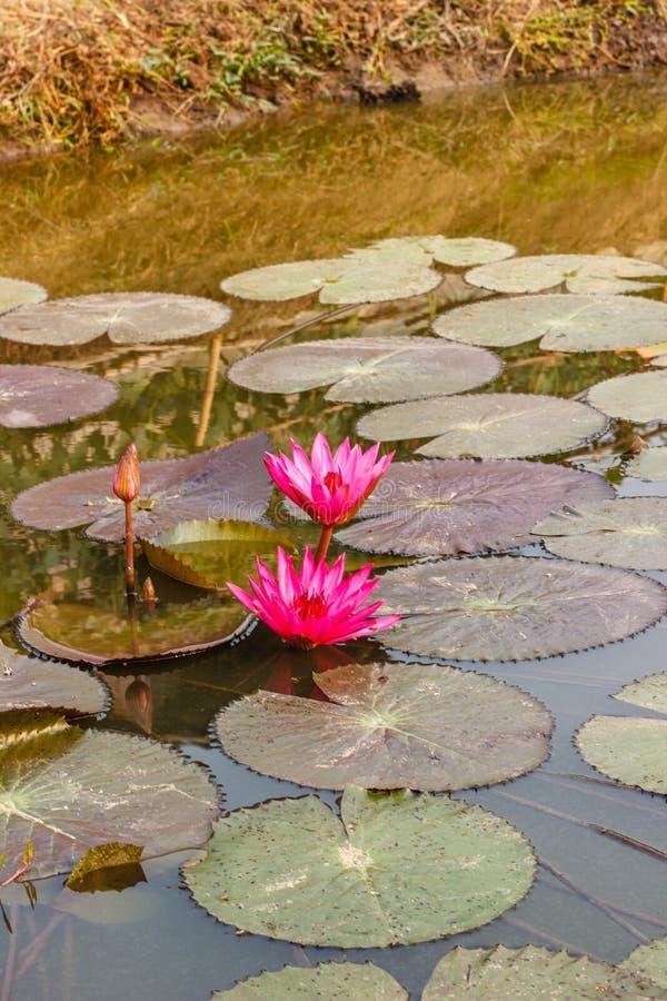 Rosa waterlily ou flor de lótus fotos de stock
