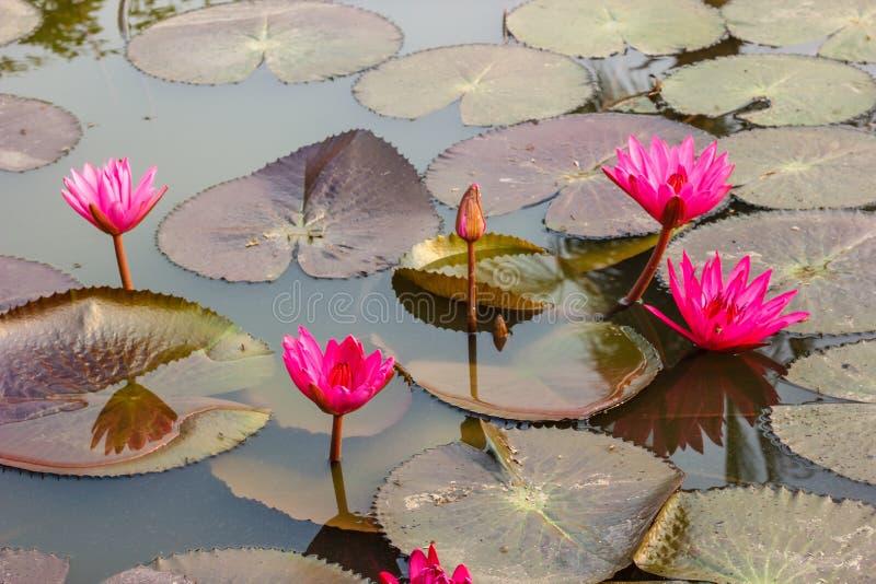 Rosa waterlily ou flor de lótus imagem de stock