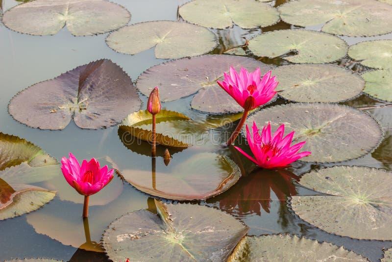 Rosa waterlily ou flor de lótus imagem de stock royalty free
