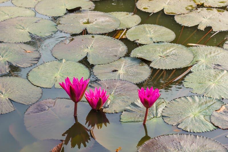 Rosa waterlily ou flor de lótus foto de stock royalty free
