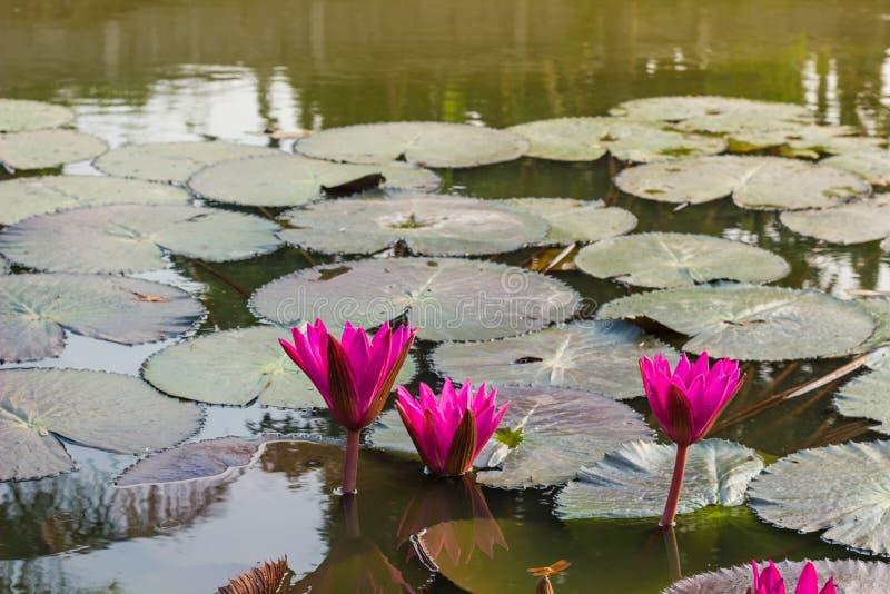 Rosa waterlily ou flor de lótus imagens de stock