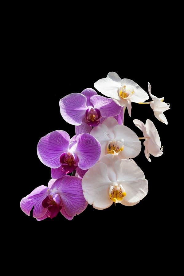 Rosa Weiß baute die Orchidee an, die über schwarzem Hintergrund lokalisiert wurde stockbilder