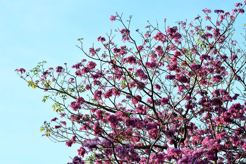 Rosa, weiß, Blume des Wunsches des Baums, Kassie bakeriana craib Baum, stockfotos