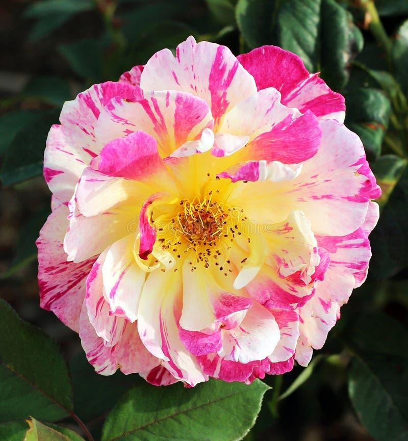 Rosa-weiß stieg stockbild