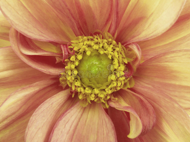 Rosa-weiße Dahlienblume Makro gelbe Stempel, Staubgefässe Gelbe Mitte Für Auslegung stockfotos