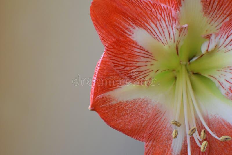 Rosa weiße gestreifte Amaryllisblume stockfotos