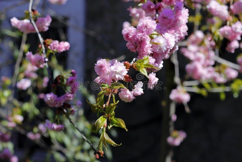 Rosa Weichheit von Kirschblüte, ein erstaunlicher Anfang zu entspringen stockbild