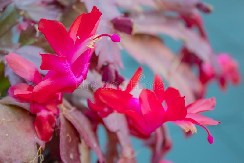 Rosa Weihnachtskaktuss-Blume, die zuhause blüht stockbilder