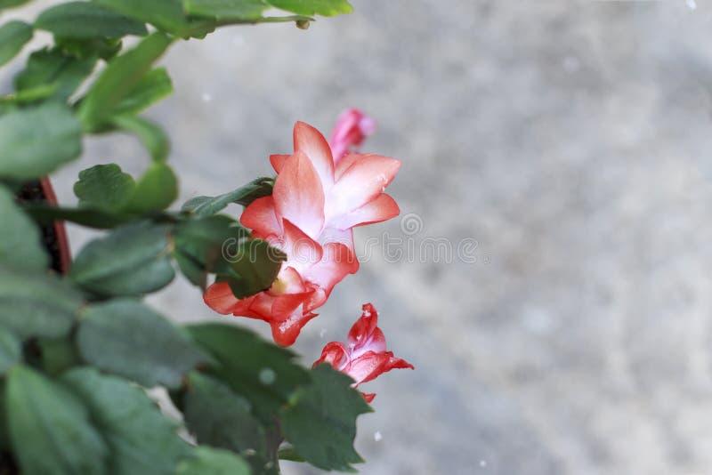 Rosa Weihnachtskaktussblume, die an einem Snowy-Tag blüht lizenzfreies stockbild