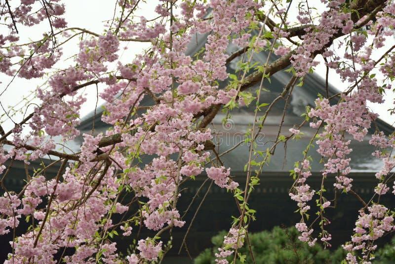 Rosa weinende Kirschblütenniederlassungen in Japan stockbild