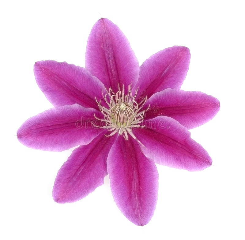 rosa white för clematis royaltyfri foto