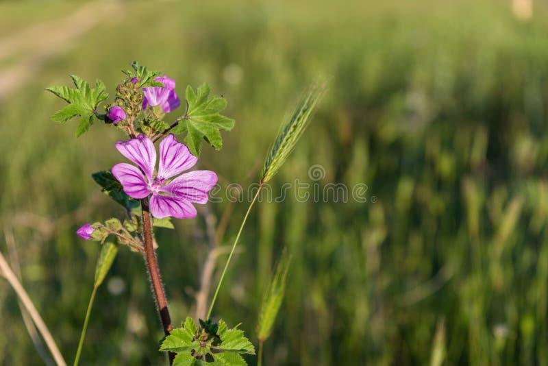 Rosa Wiese Wildflower unter Sonnenlichtnahaufnahme lizenzfreies stockbild