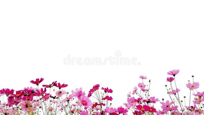 Rosa y aster mexicano del jardín rojo aislado en el fondo blanco imagen de archivo