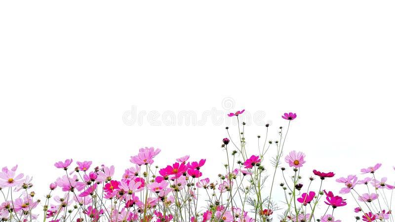 Rosa y aster rojo del flor del cosmos del jardín o mexicano con el tronco verde fotos de archivo libres de regalías