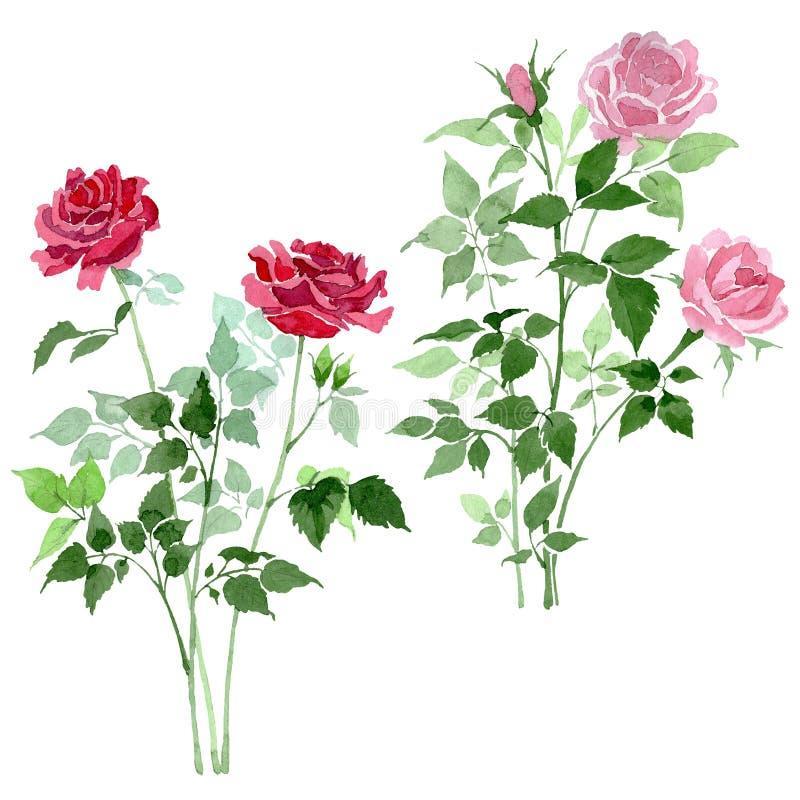 Rosa y flores botánicas florales de las rosas rojas del arbusto Conjunto del fondo de la acuarela Elemento color de rosa aislado  stock de ilustración