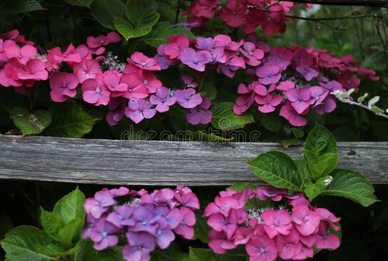 Rosa y flores púrpuras de la hortensia con una cerca resistida foto de archivo libre de regalías