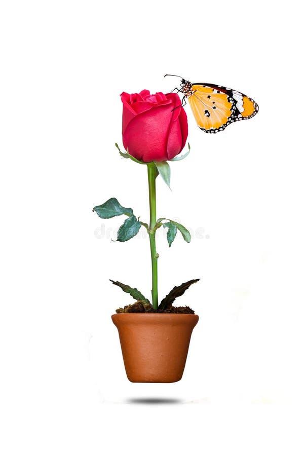 Rosa y mariposa del rojo en pote fotografía de archivo