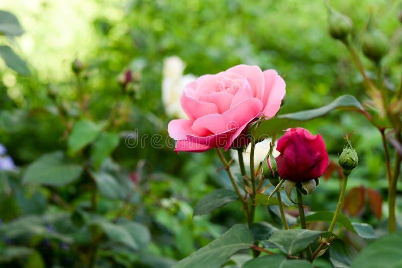 Rosa y rosas rojas en jardín botánico imagen de archivo libre de regalías