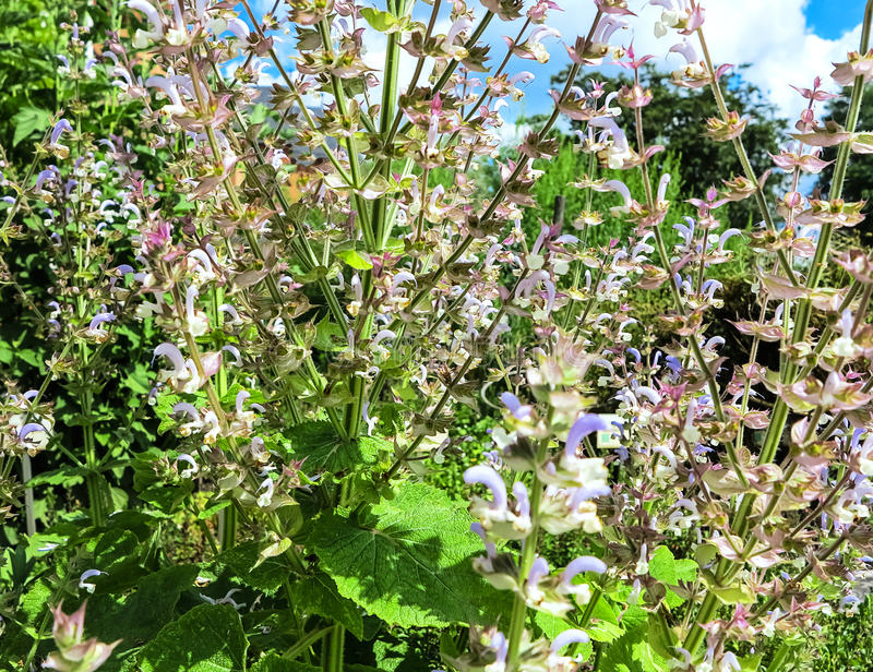 Rosa y sabio de clary floreciente púrpura (sclarea de Salvia) fotos de archivo