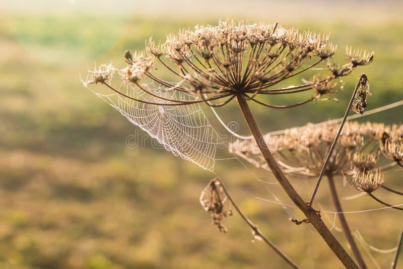 Rosa zakrywał pajęczyny przy świtem w chłodno lato ranku w łące zdjęcia royalty free