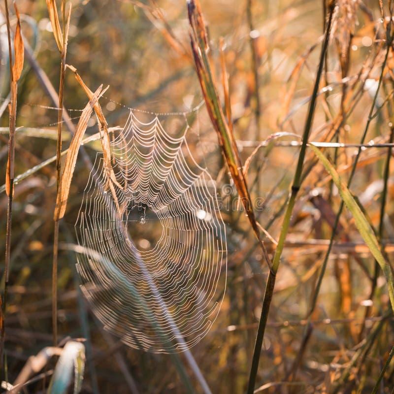 Rosa zakrywał pajęczyny przy świtem w chłodno lato ranku w łące fotografia royalty free