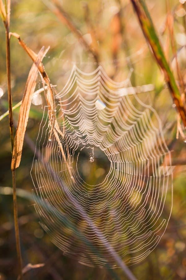 Rosa zakrywał pajęczyny przy świtem w chłodno lato ranku w łąkowej, selekcyjnej ostrości, obraz royalty free