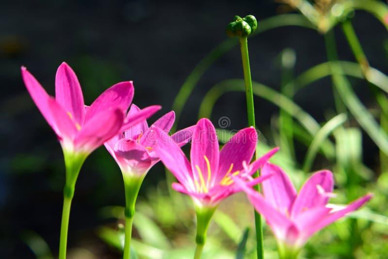 Rosa zephyranthesblommor royaltyfria foton