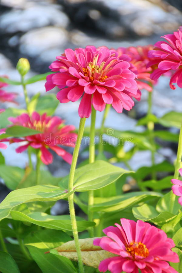 Rosa Zinnia-Blume lizenzfreies stockfoto