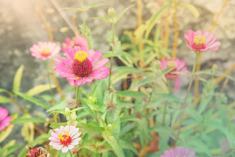 Rosa Zinnia Elegans-Blume auf hellem Morgen Sun mit weichen Pastellfarbblicken lizenzfreies stockfoto
