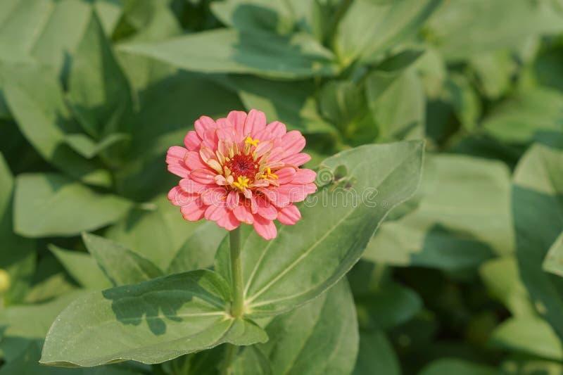 rosa zinnia för blomma royaltyfri foto