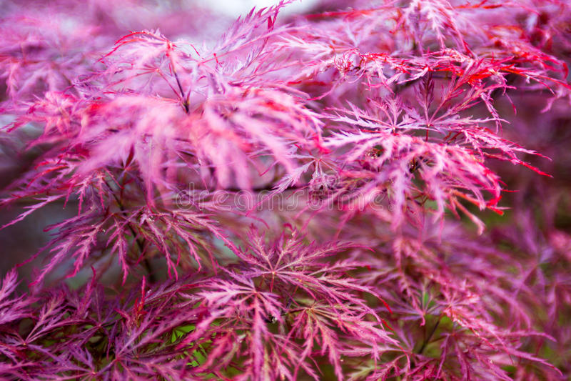 Rosablätter des japanischen Ahorns (Acer-palmatum) stockfotografie