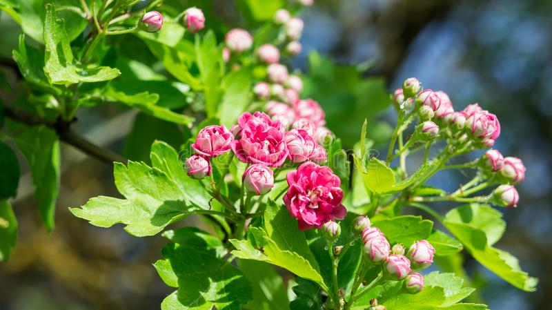 Rosaceae ballerina, pink flowers on a branch grow in the garden stock photos