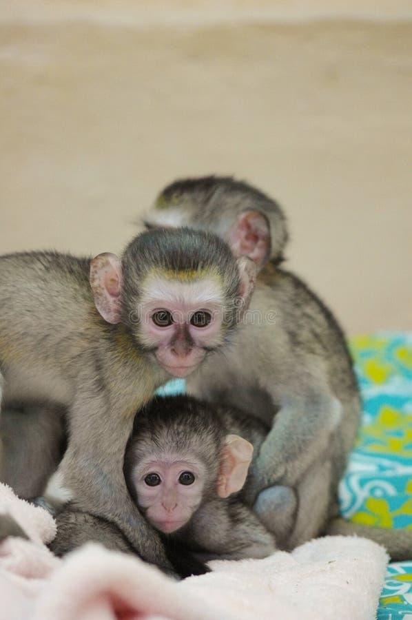 Rosado-caras, bebés del mono de Vervet, abrazando imágenes de archivo libres de regalías