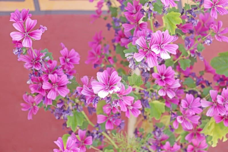 Rosafarbeblumiger Hintergrund geklickt in Laddakh stockbilder
