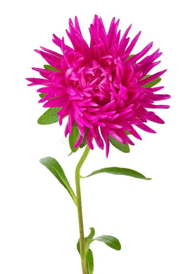 Rosafarbene Asterblume lizenzfreies stockfoto