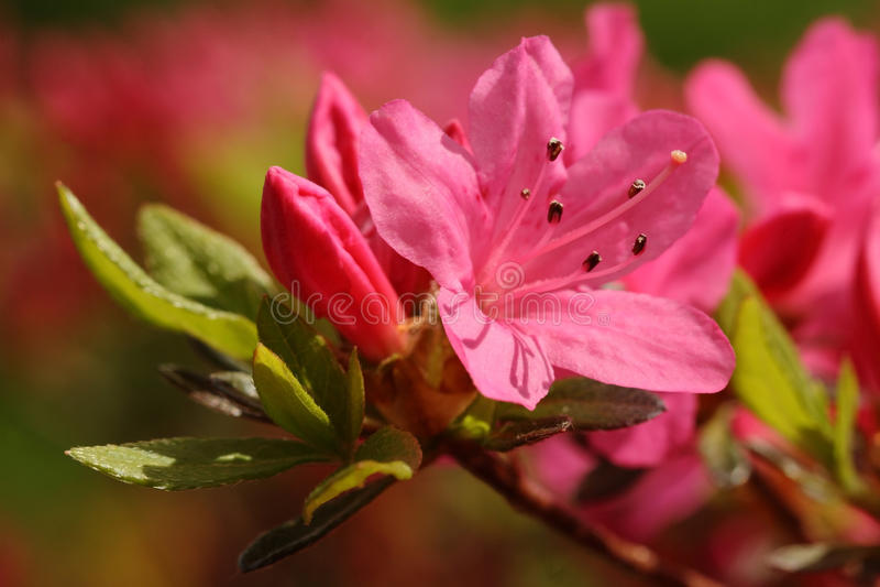 Rosafarbene Azalee stockfoto