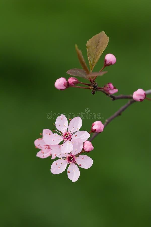 Rosafarbene Blüte stockfotos