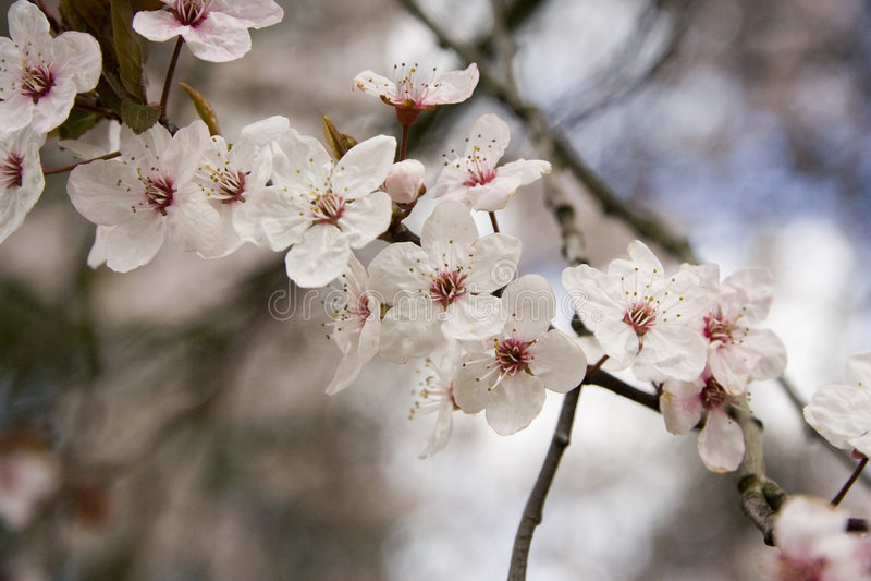 Download Rosafarbene Blüte stockfoto. Bild von holz, blätter, blüte - 873074