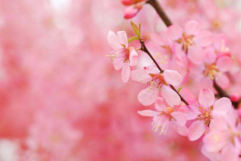 Rosafarbene Blüte lizenzfreies stockfoto