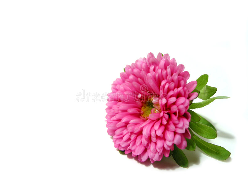 Rosafarbene Blume auf weißem Hintergrund stockfoto
