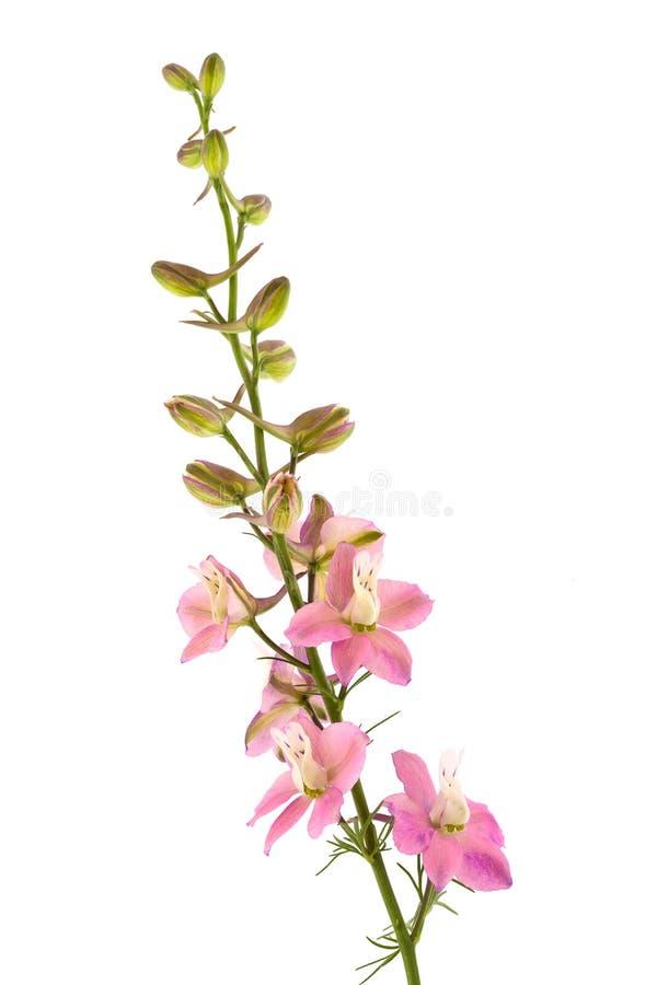 Rosafarbene Blume auf weißem Hintergrund stockfotos