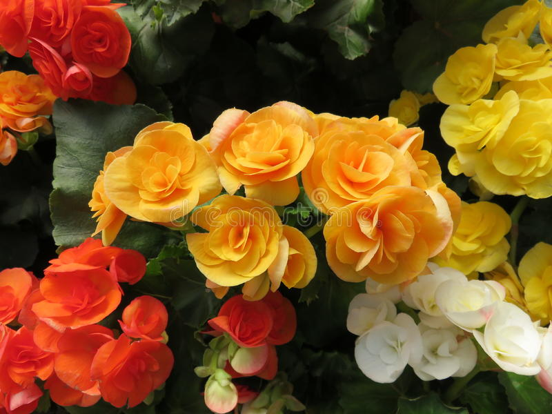 Rosafarbene Blume der Orange mit Grün verlässt in Nord-Thailand lizenzfreies stockfoto