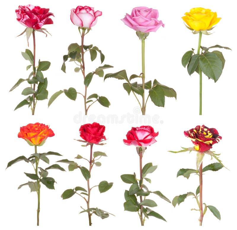 Rosafarbene Blume der Roseblumen lizenzfreie stockbilder