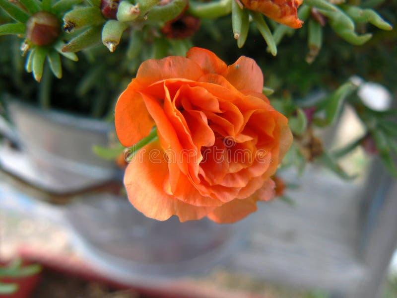Rosafarbene Blume der Wüste stockbild