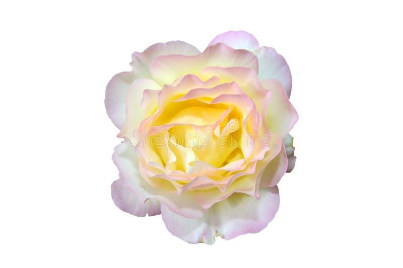 Rosafarbene Blume des Gelbs stockbild