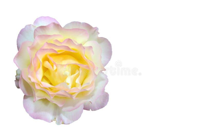 Rosafarbene Blume des Gelbs stockfotografie