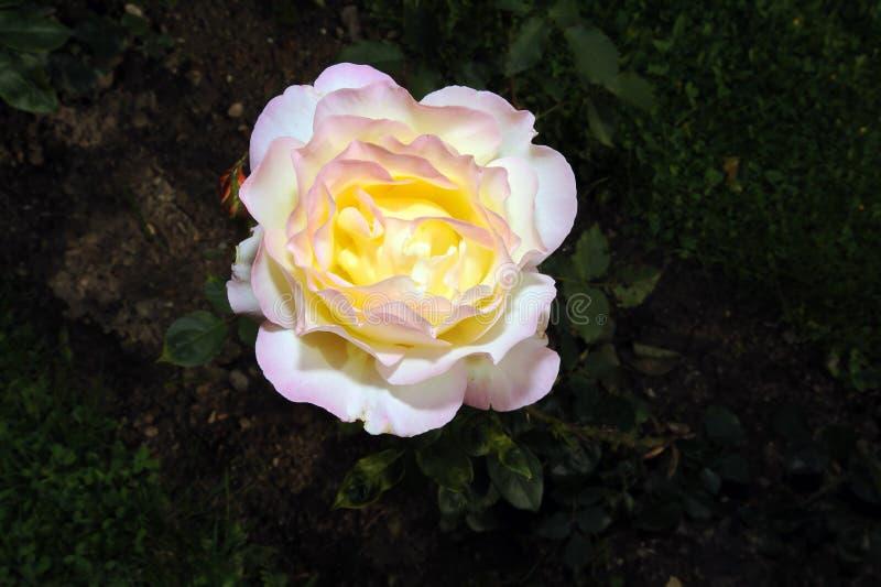 Rosafarbene Blume des Gelbs lizenzfreie stockfotos