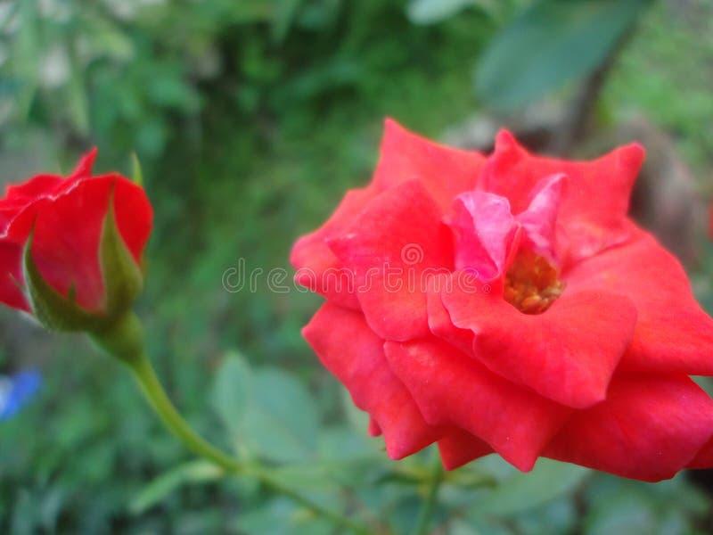 Rosafarbene Blume des netten Morgens in Sri Lanka stockfotos