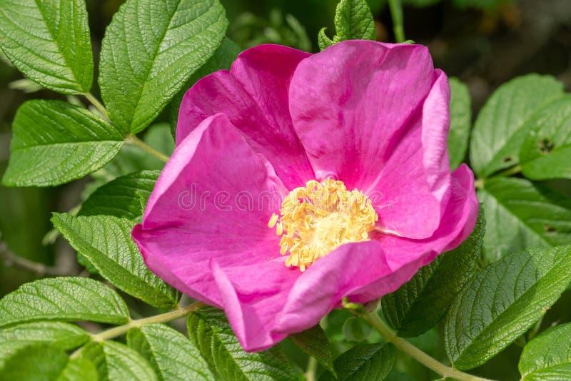 Rosafarbene Blume des rosa Brier lizenzfreie stockbilder