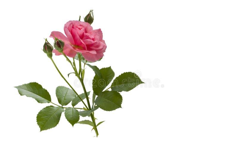 Rosafarbene Blume des Rosas lizenzfreie stockfotografie
